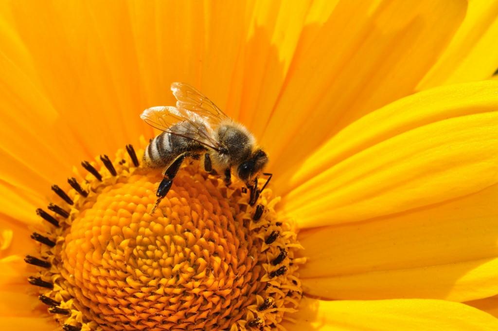 פולן דבורים
