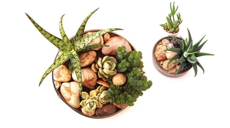 הצמחים העסיסיים מן המדבר - סדנת יצירה עם סוקולנטים